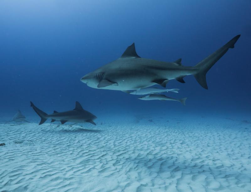 requins bouledogues john diving